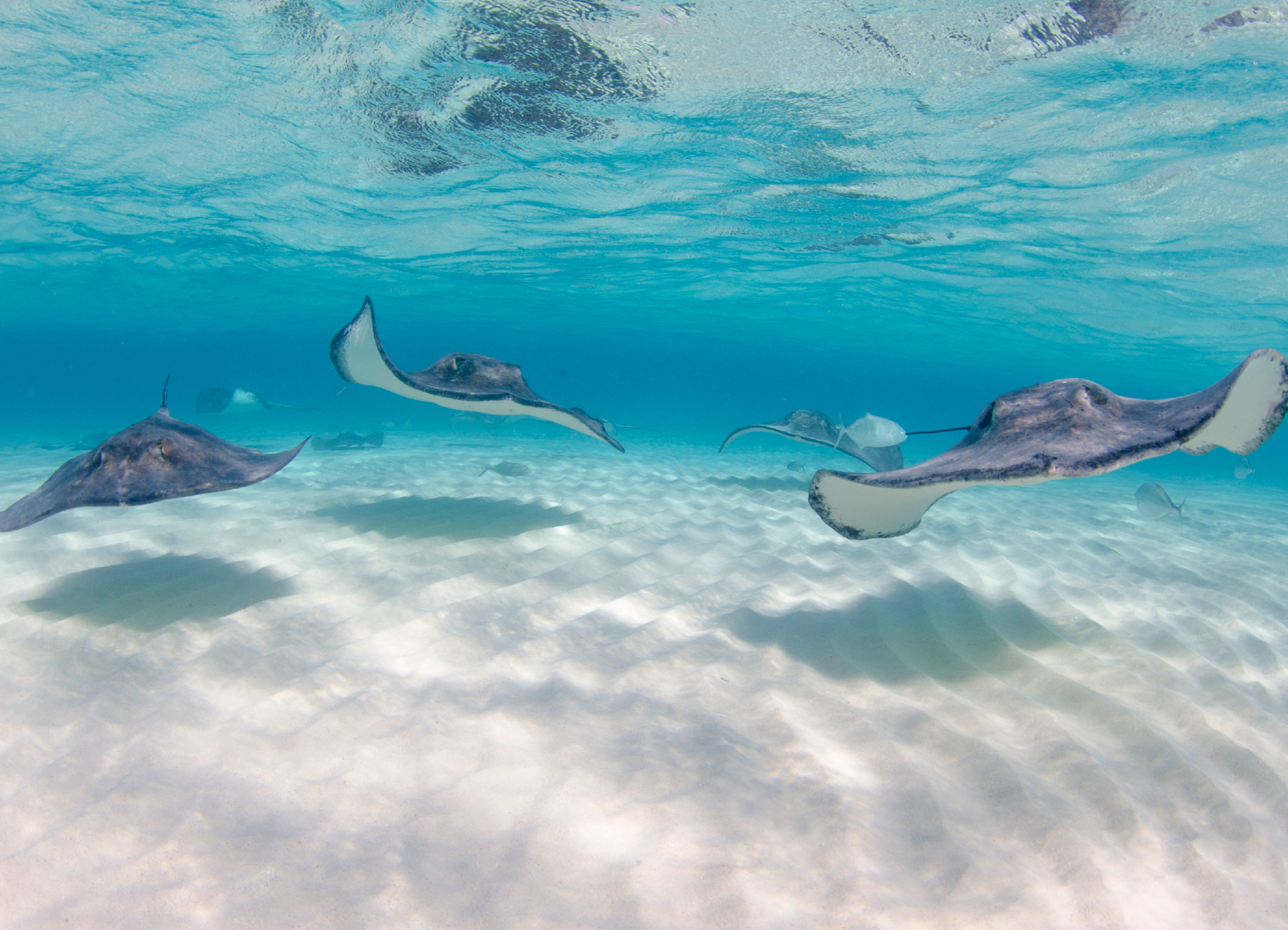 A group of stingrays swimming near the ocean floor.